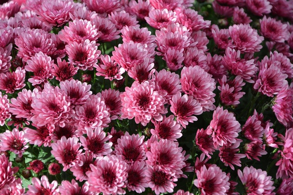 Fleur d'automne, fleur de Toussaint, le chrysanthème - Yvelines Infos