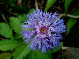 cornflower-2653640_960_720
