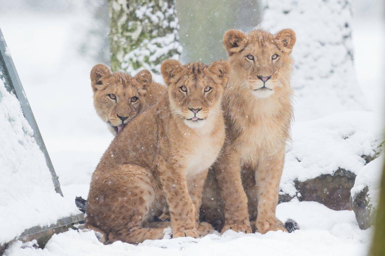 Le zoo de Thoiry sous la neige © Thoiry ZooSafari - Facebook