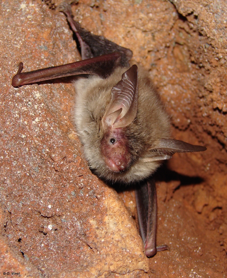 Myotis bechsteinii. Photo : ONF / O. Vinet