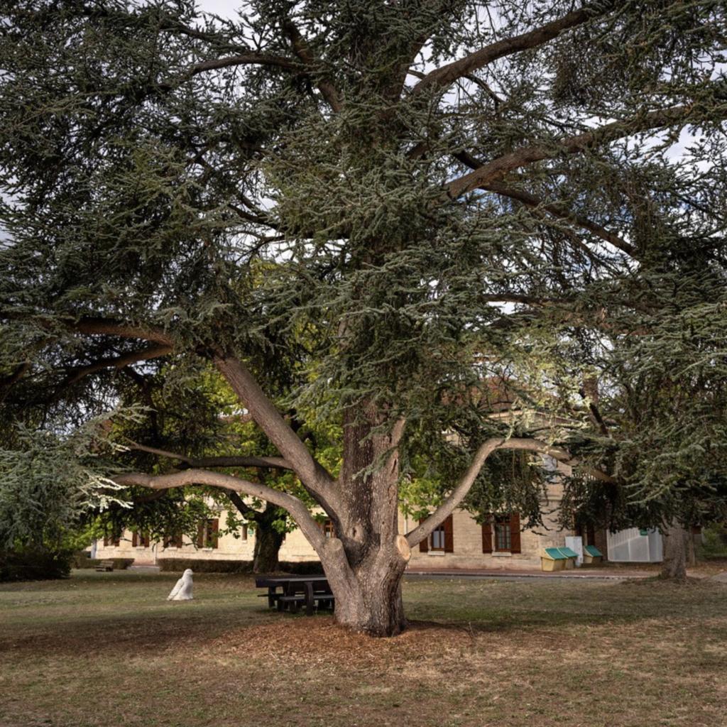 """Le cèdre de Montesson en lice pour """"l'arbre de l'année 2020"""""""