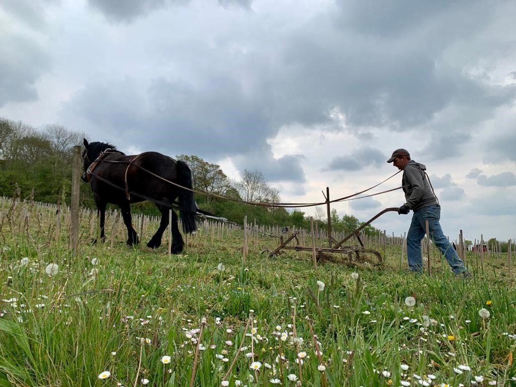 Michael Bertolotti des Calèches du Loir travaille dans les rangs de vigne © Association les Coteaux de la Mauldre